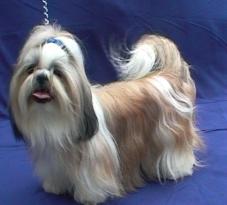 Deckruden Shih Tzu Yorkshire Terrier Und Biewer Von Der Hundezucht