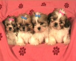 zuchterfolge 2008 yorkshire shih tzu biewer yorki der hundezucht miros. Black Bedroom Furniture Sets. Home Design Ideas